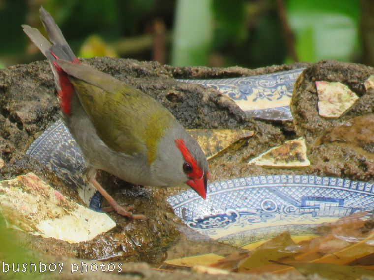 red browed firetail_bird bath_named_binna burra_nov 2017