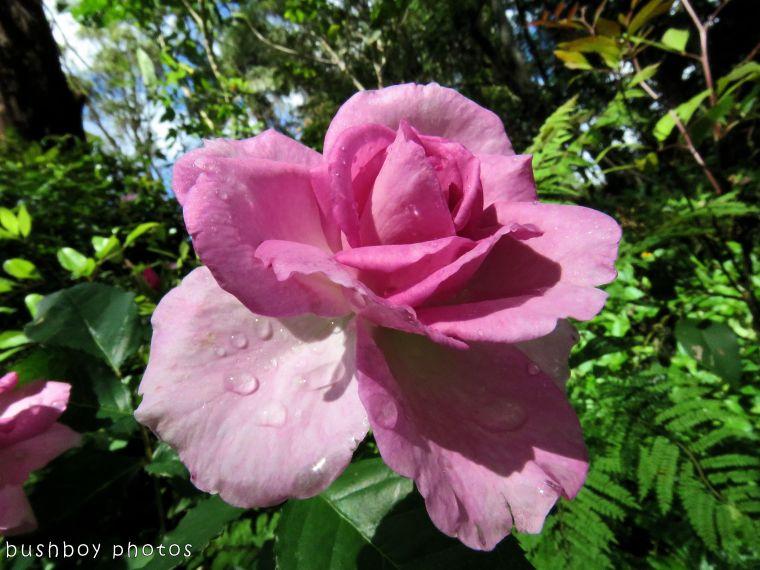 rose_pink_named_binna burra_nov 2017