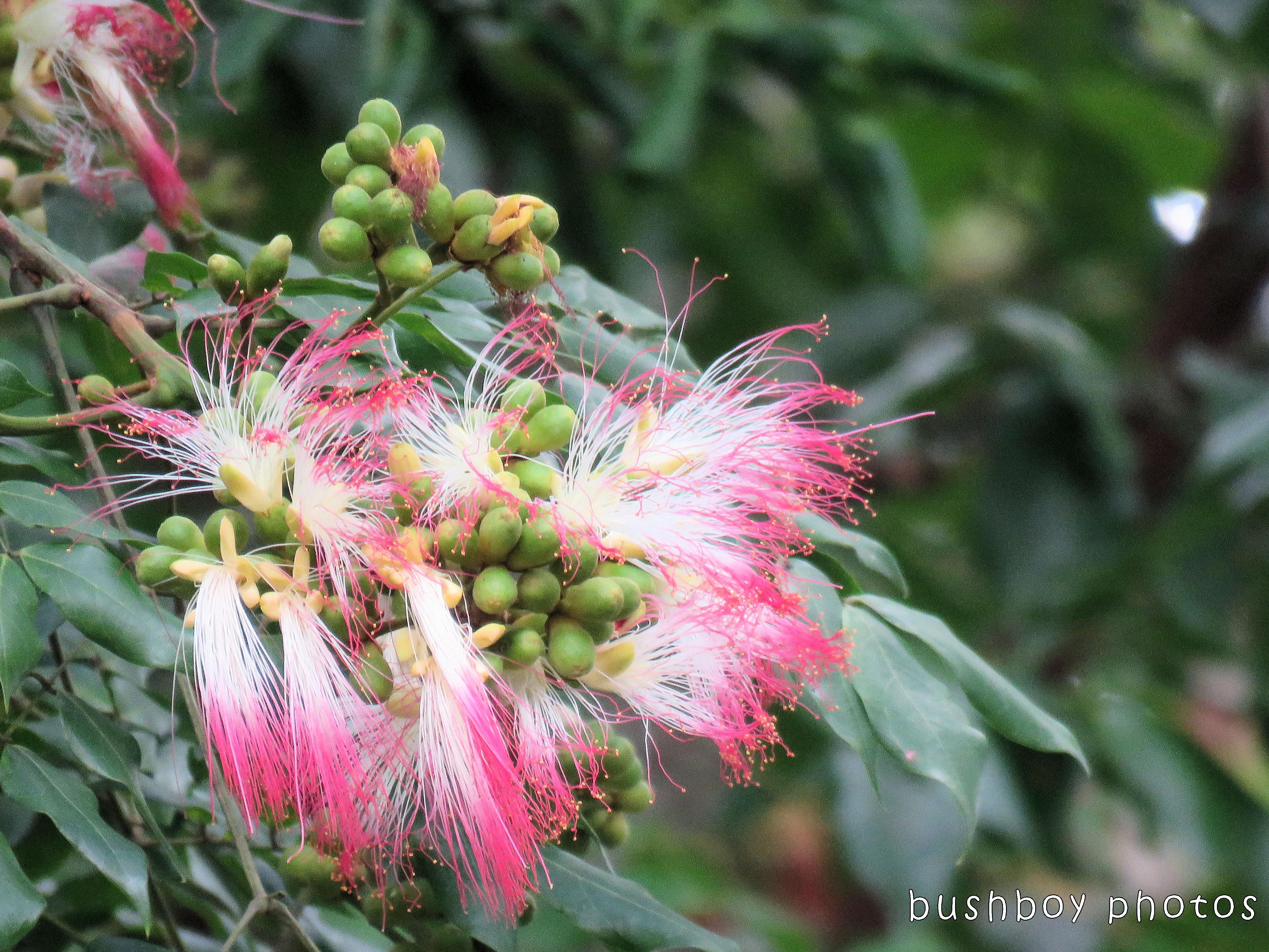 silk tree flower_named_binna burra_nov 2017