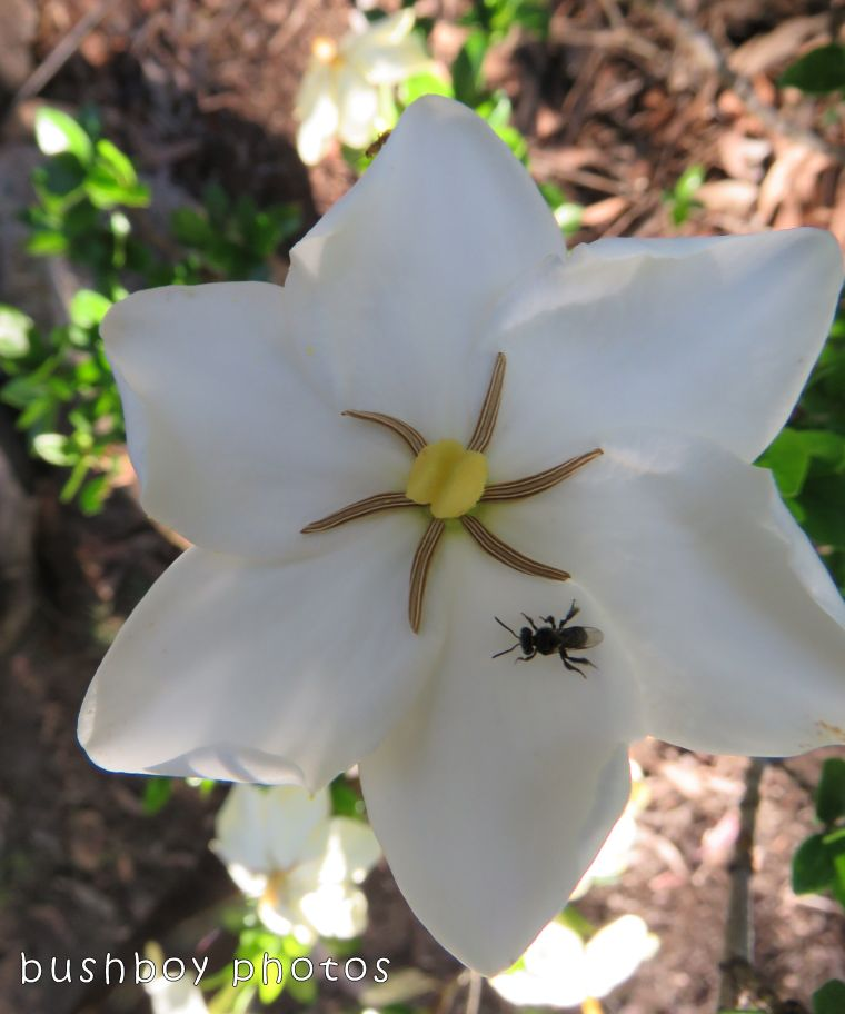 stingless native bee_gardenia_named_home_nov 2017