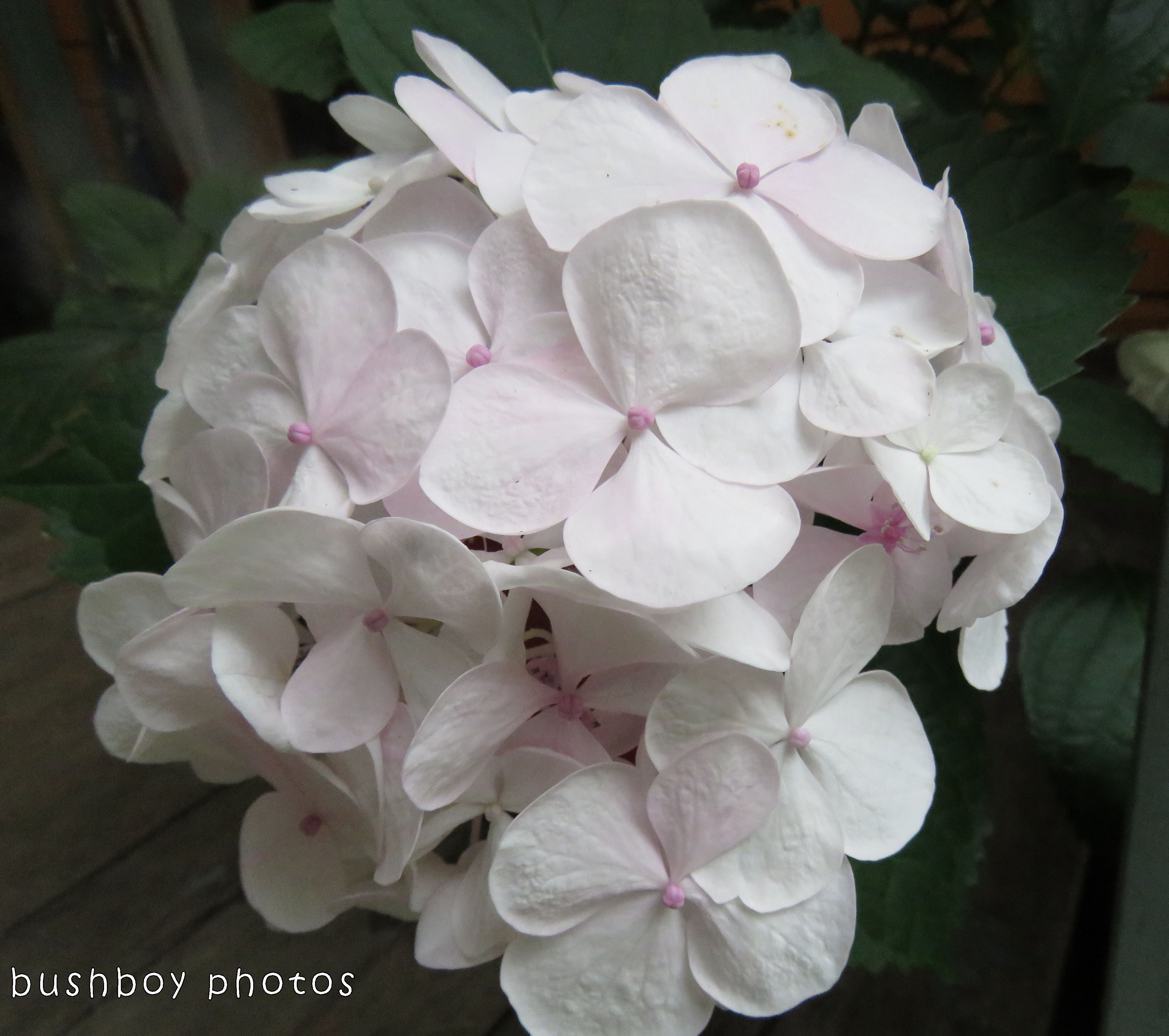 white hydrangea flower_named_home_nov 2017