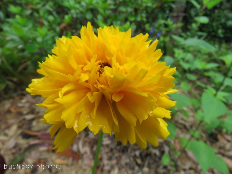yellow flower_named_binna burra_nov 2017