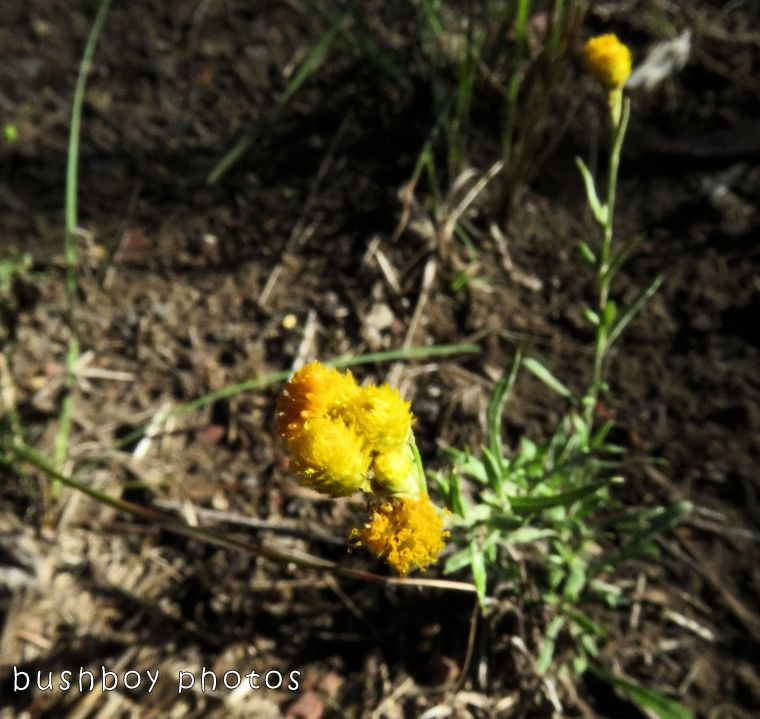 yellow puff ball flowers_named_home_nov 2017