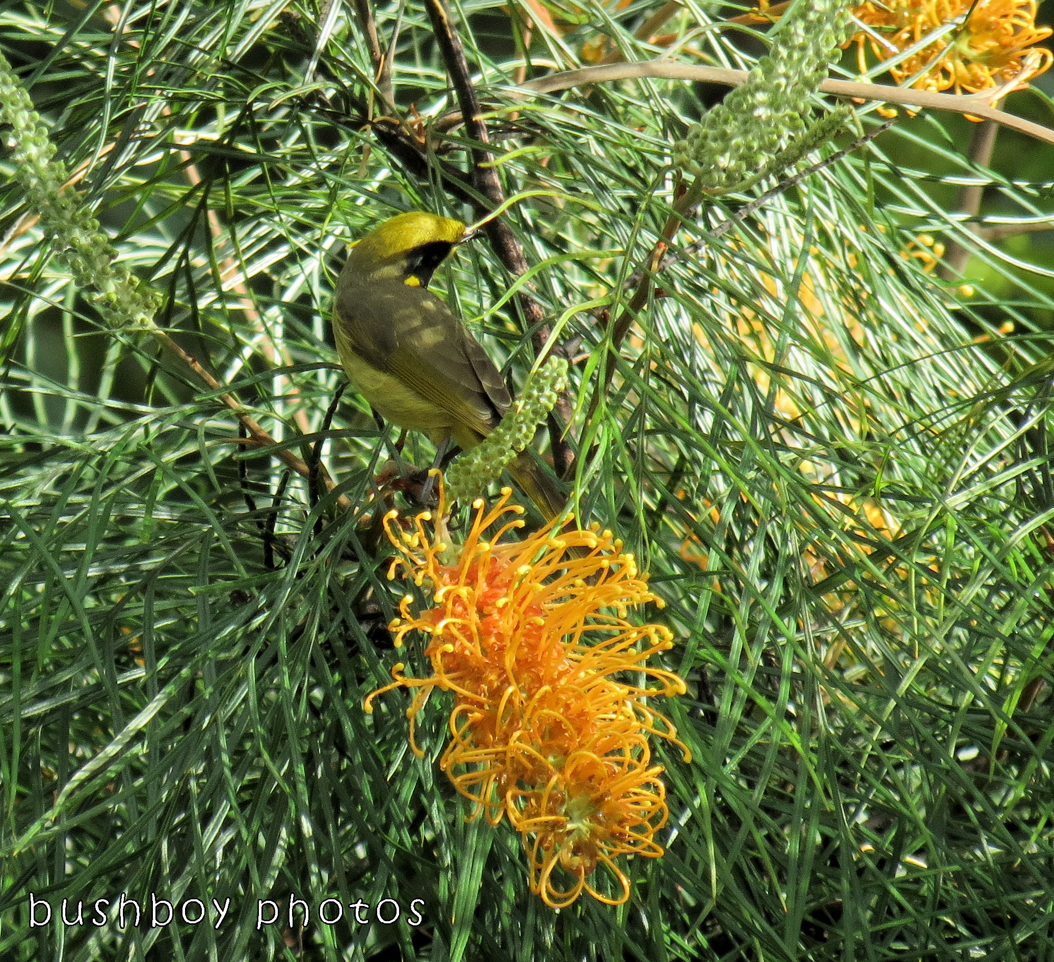 180104_letters_double T_yellow tufted honeyeater
