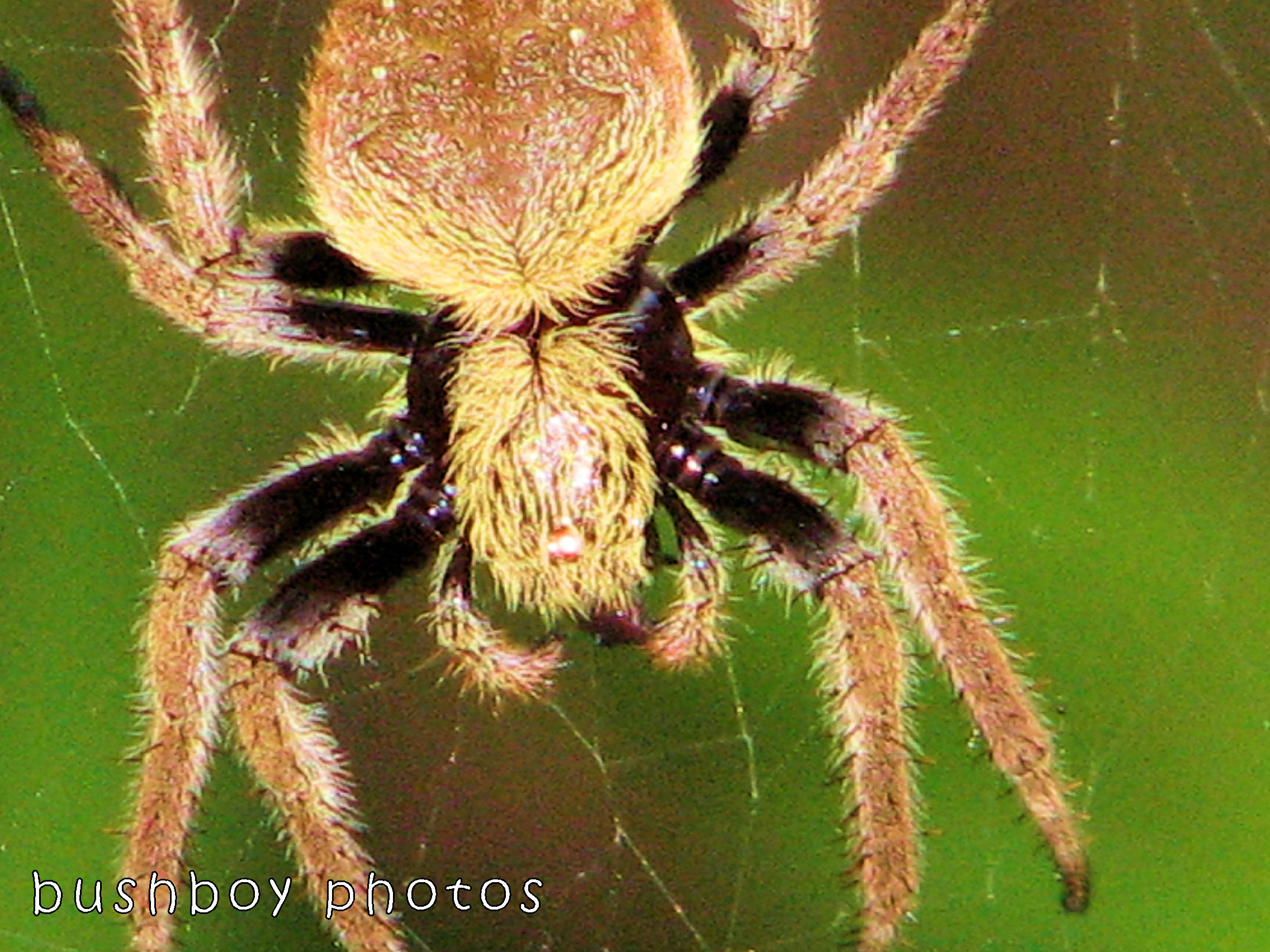 180105_blog challenge_auricomous_spider