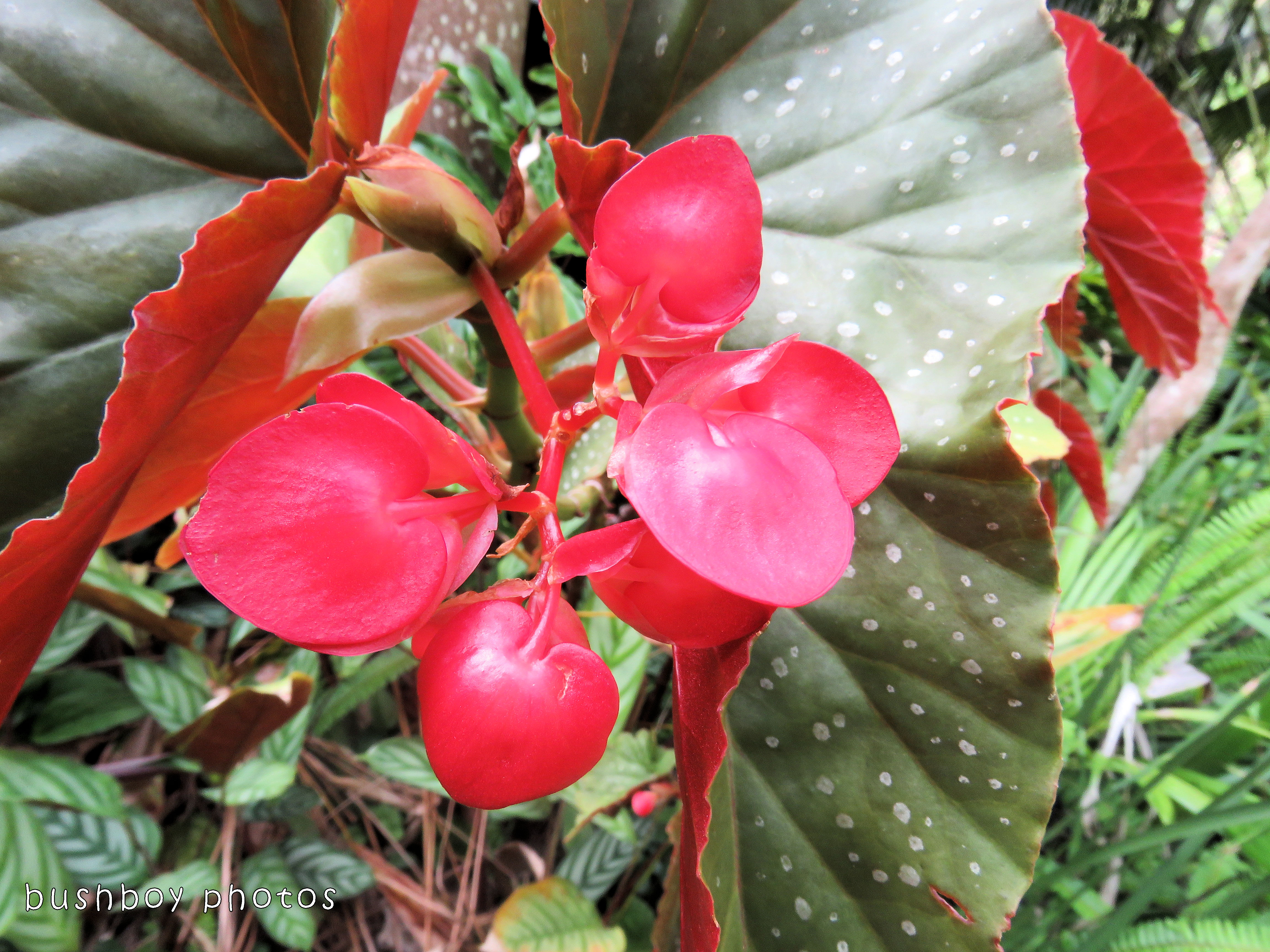 begonia flower_named_home_dec 2017