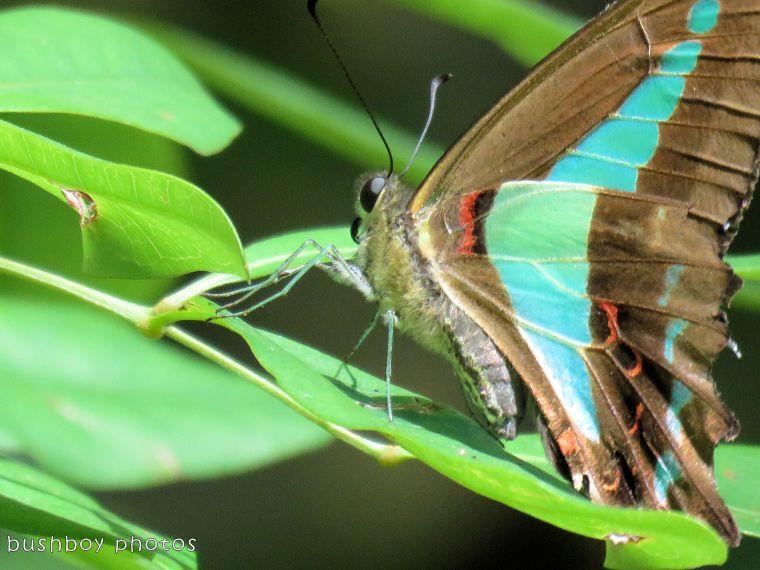 blue triangle butterfly_close_named_binna burra_jan 2018