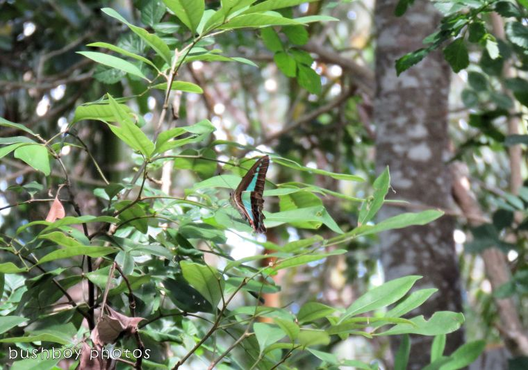 blue triangle butterfly_tree_named_binna burra_jan 2018