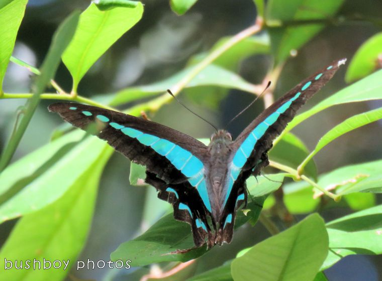blue triangle butterfly_wings open_named_binna burra_jan 2018