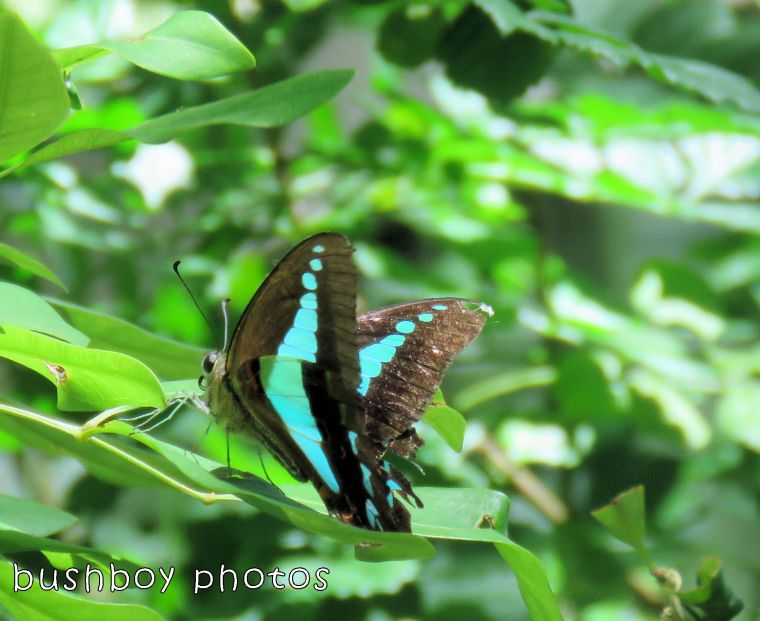 blue triangle butterfly_wings opening_named_binna burra_jan 2018