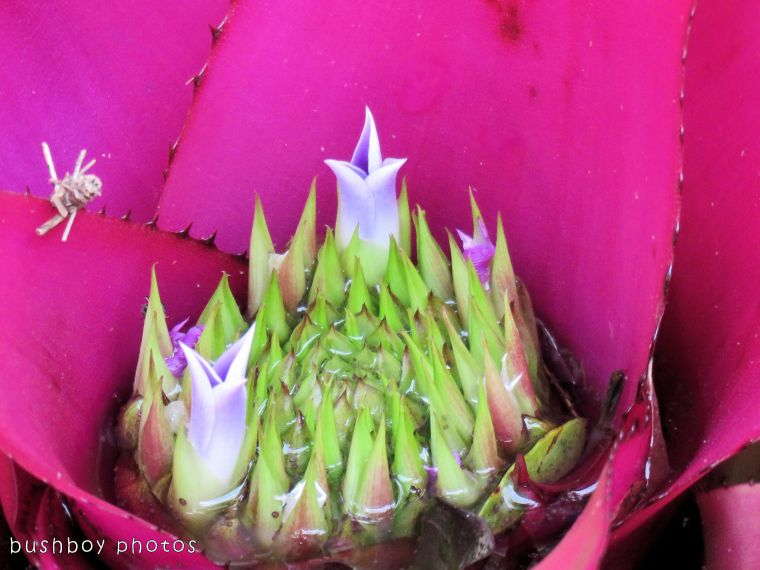 bromiliad flower_named_home_dec 2017
