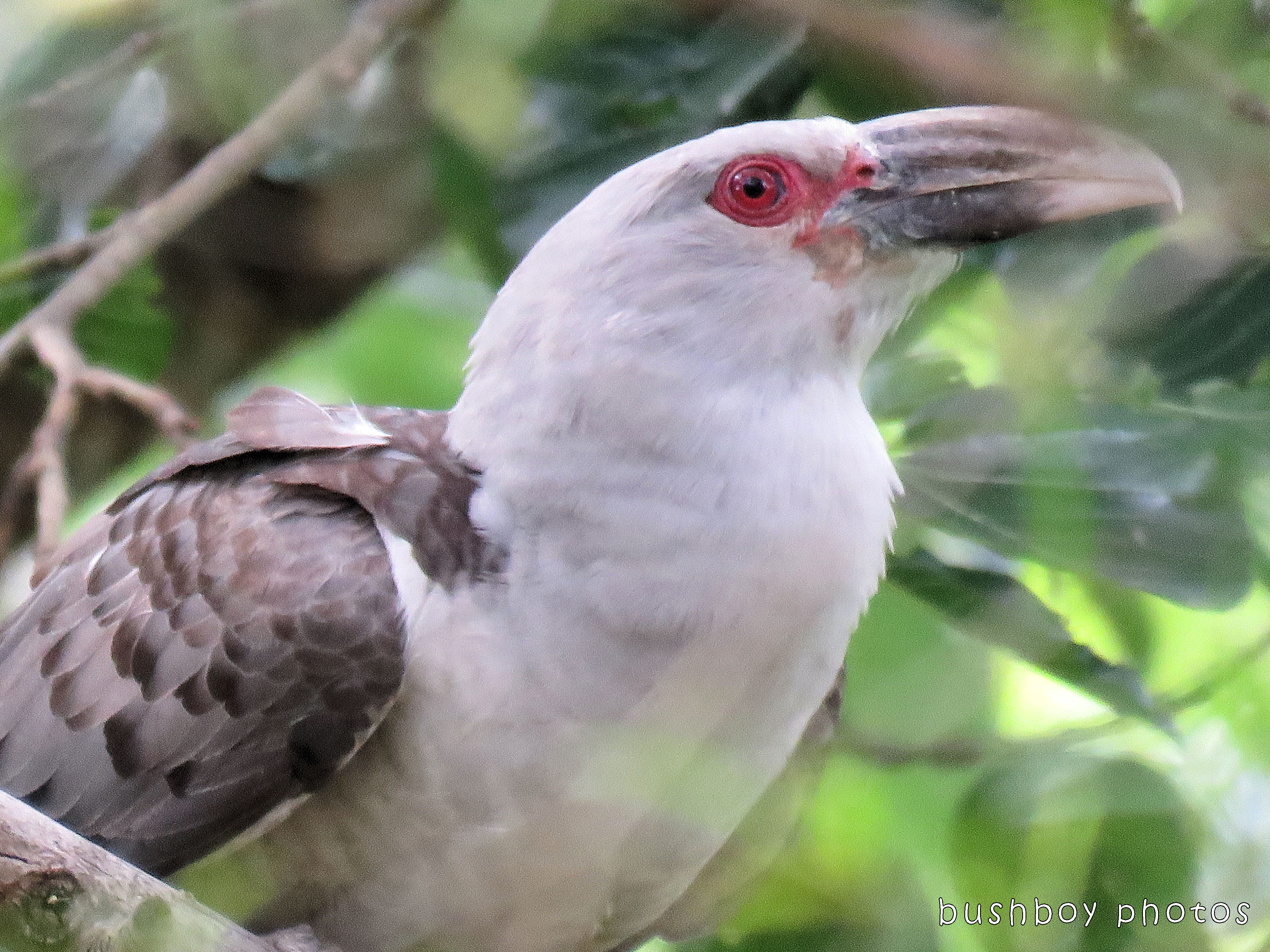 channel billed cuckoo01_named_jiggi_dec 2017 - Copy