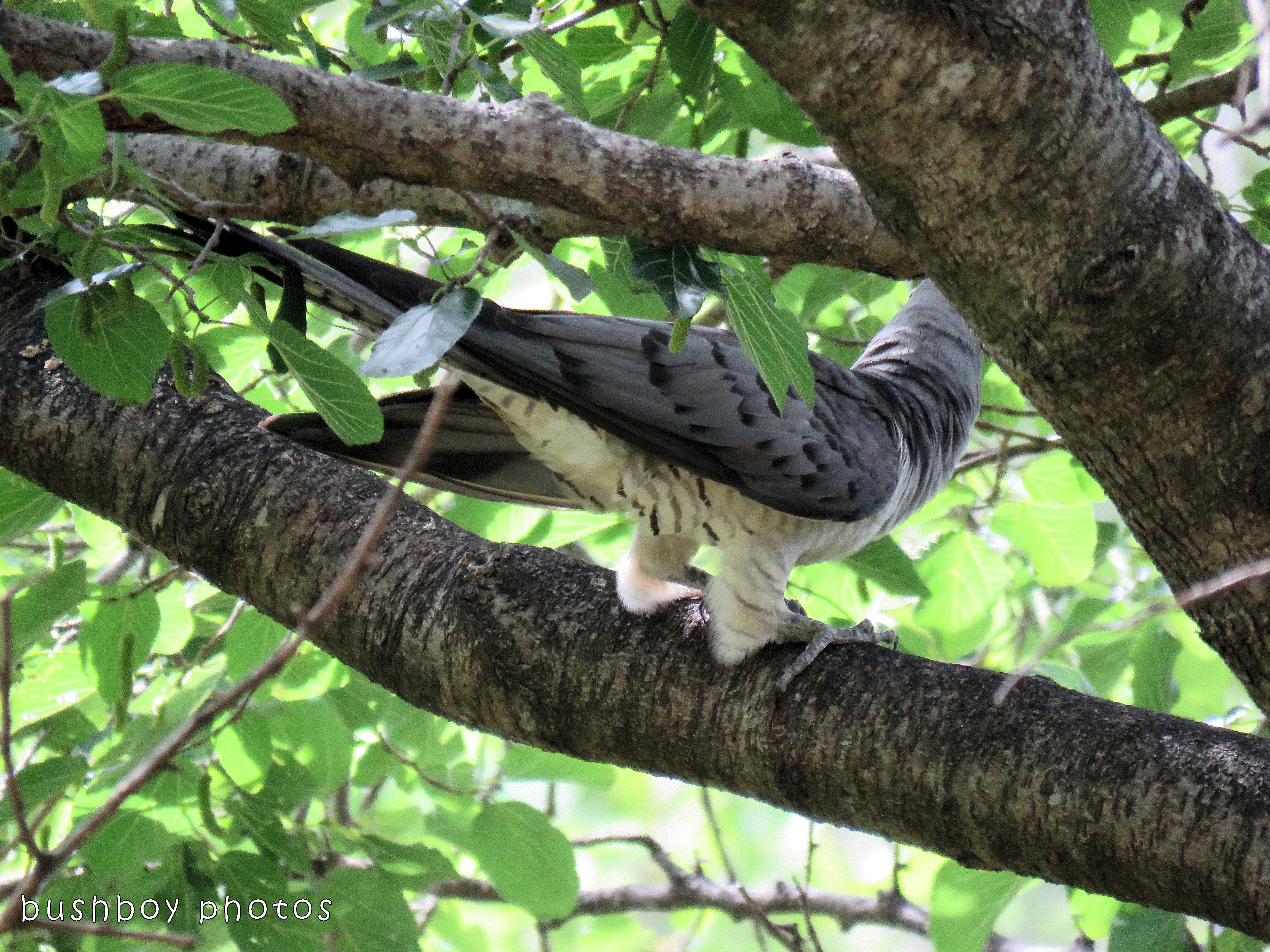 channel billed cuckoo02_named_jiggi_dec 2017 - Copy