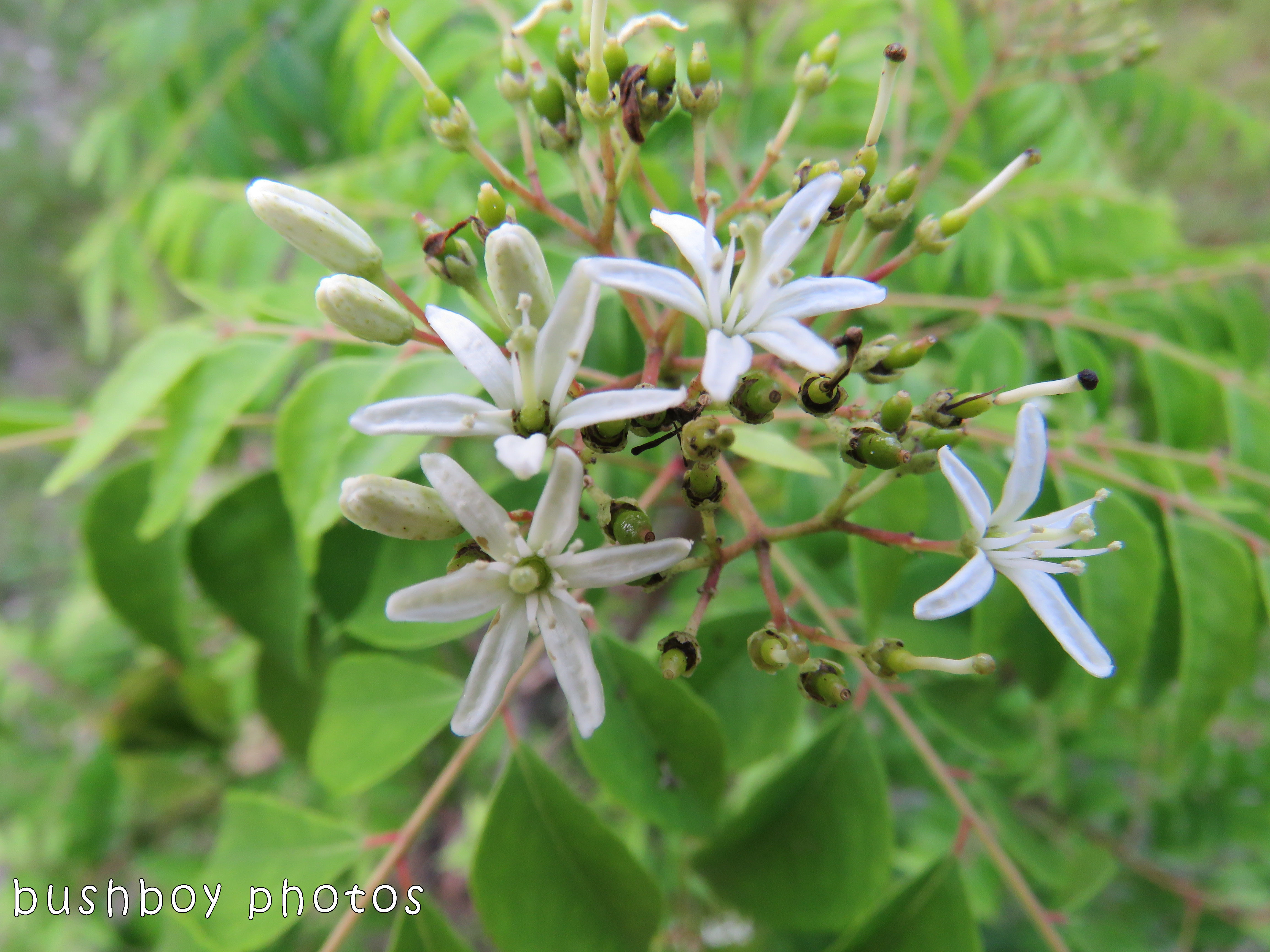 curry tree_flowers_named_home_dec 2017