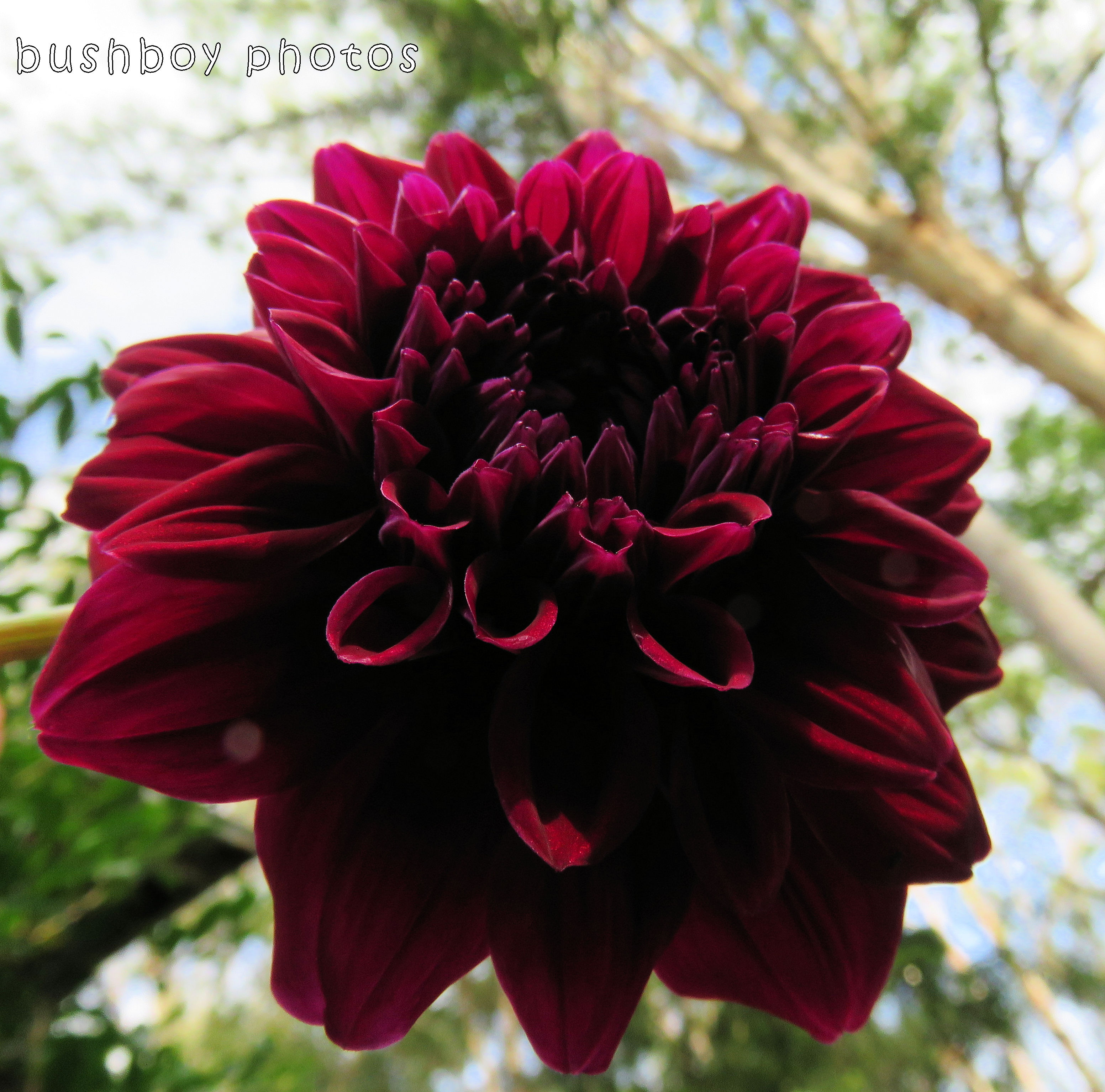 dahlia_red_named_binna burra_dec 2017