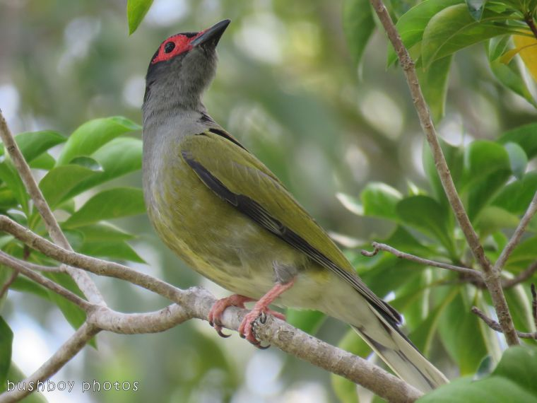 fig bird_male_named_home_dec 2017 - Copy