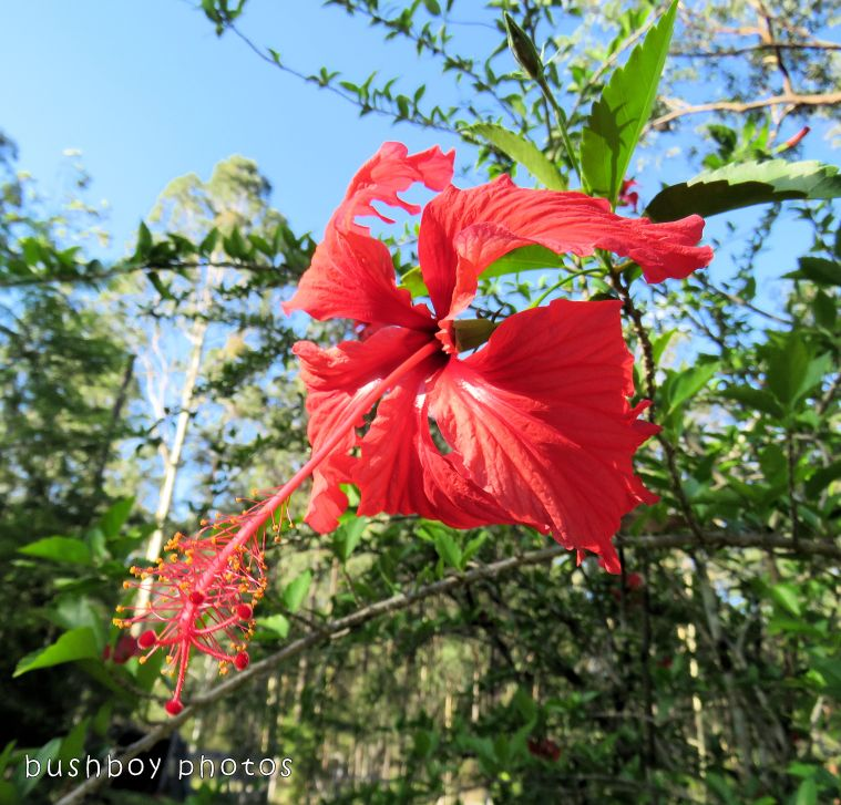 hibiscus_flower_red_named_home_dec 2017