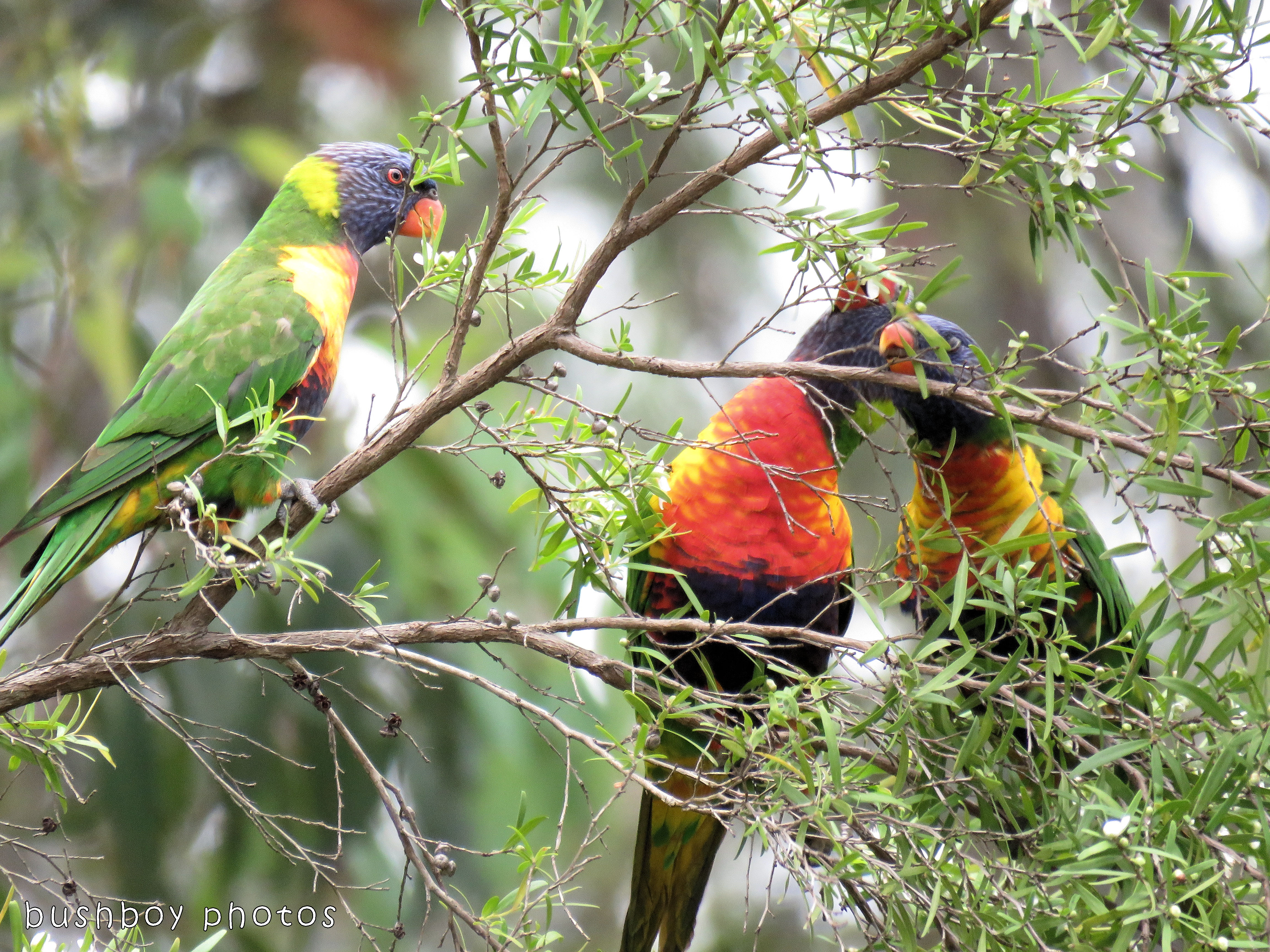 rainbow lorikeets_tea tree_named_home_dec 2017