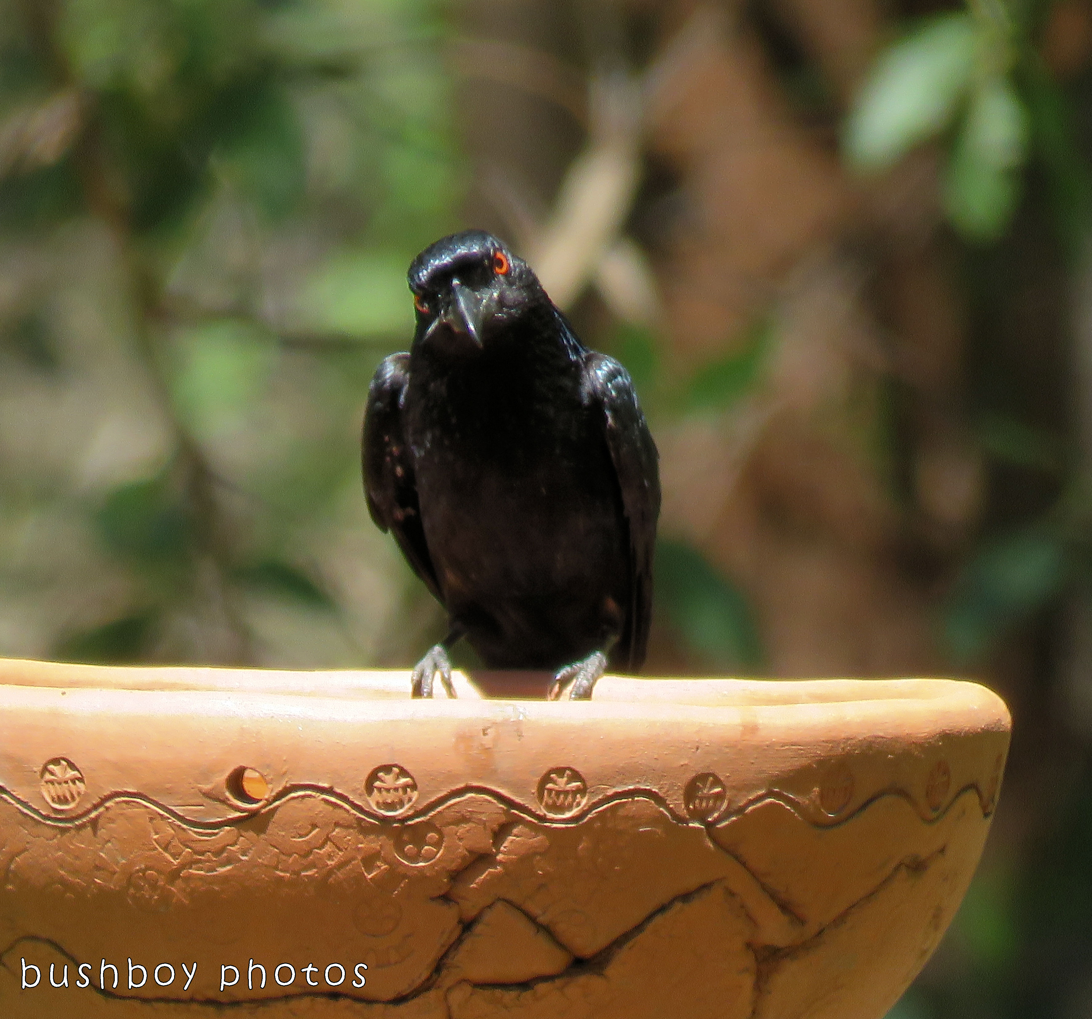 spangled drongo_bird bath_named_home_dec 2017