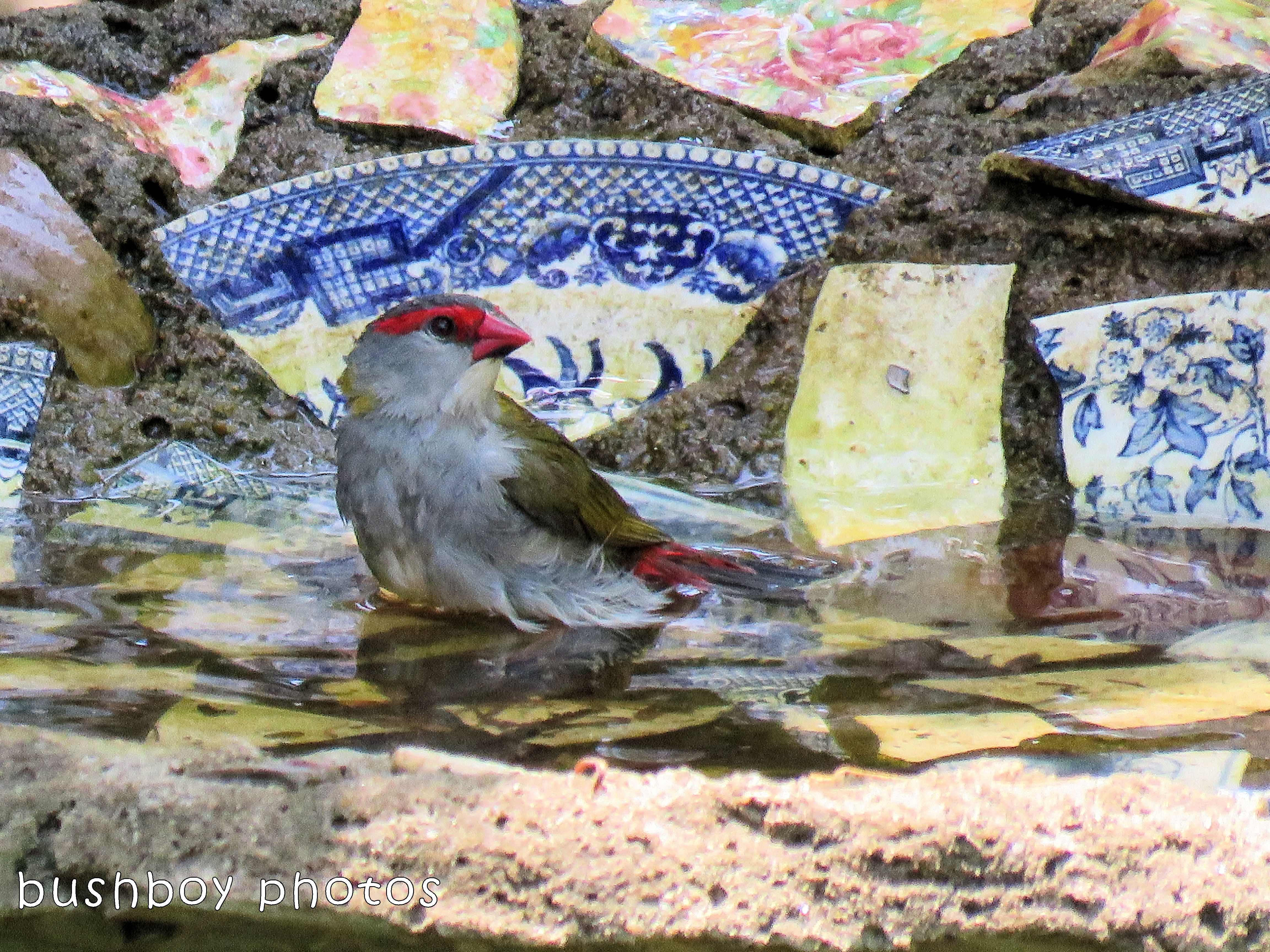 180215_sweet_red browed firetail finch