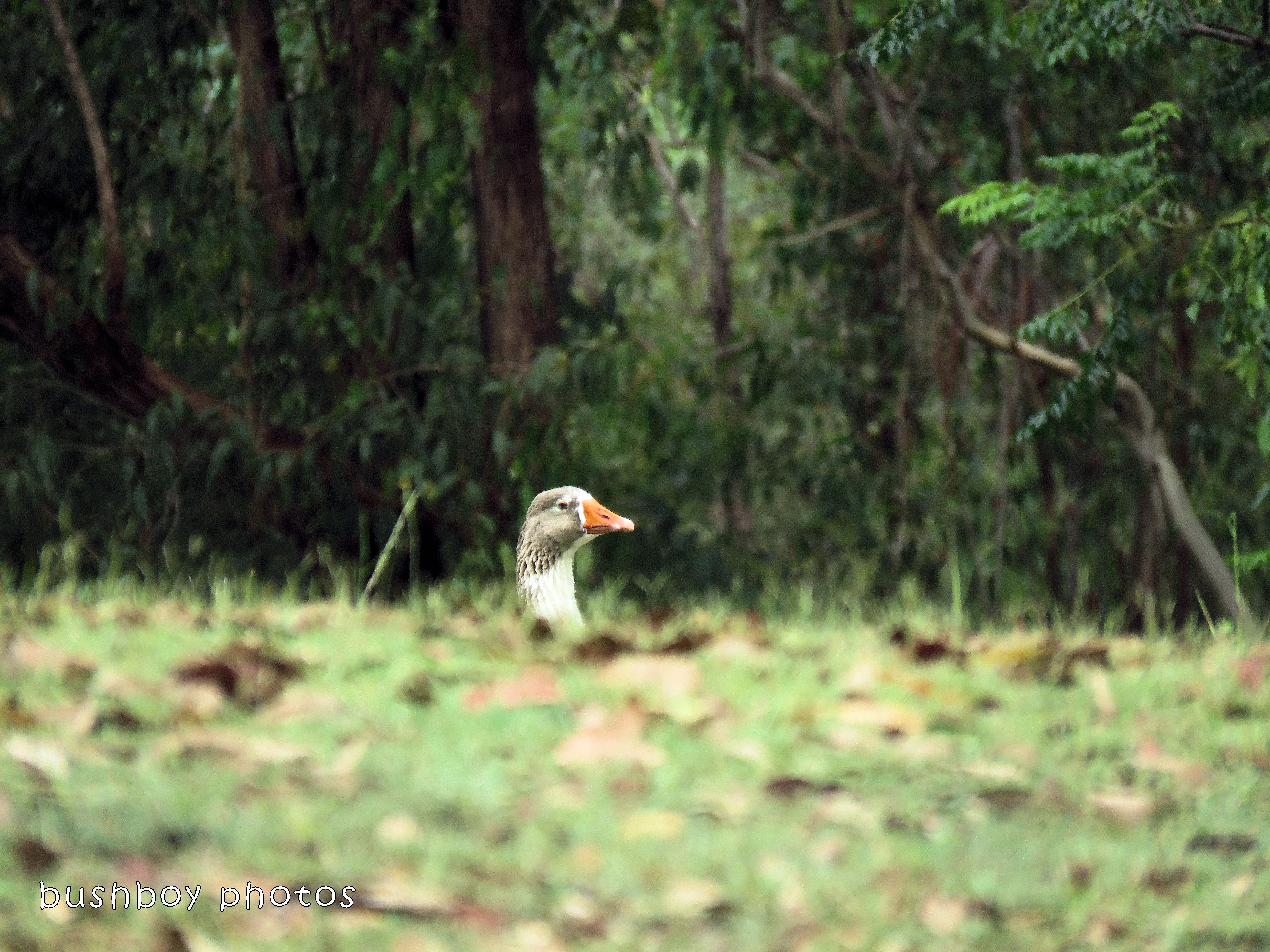 180221_birds_goose