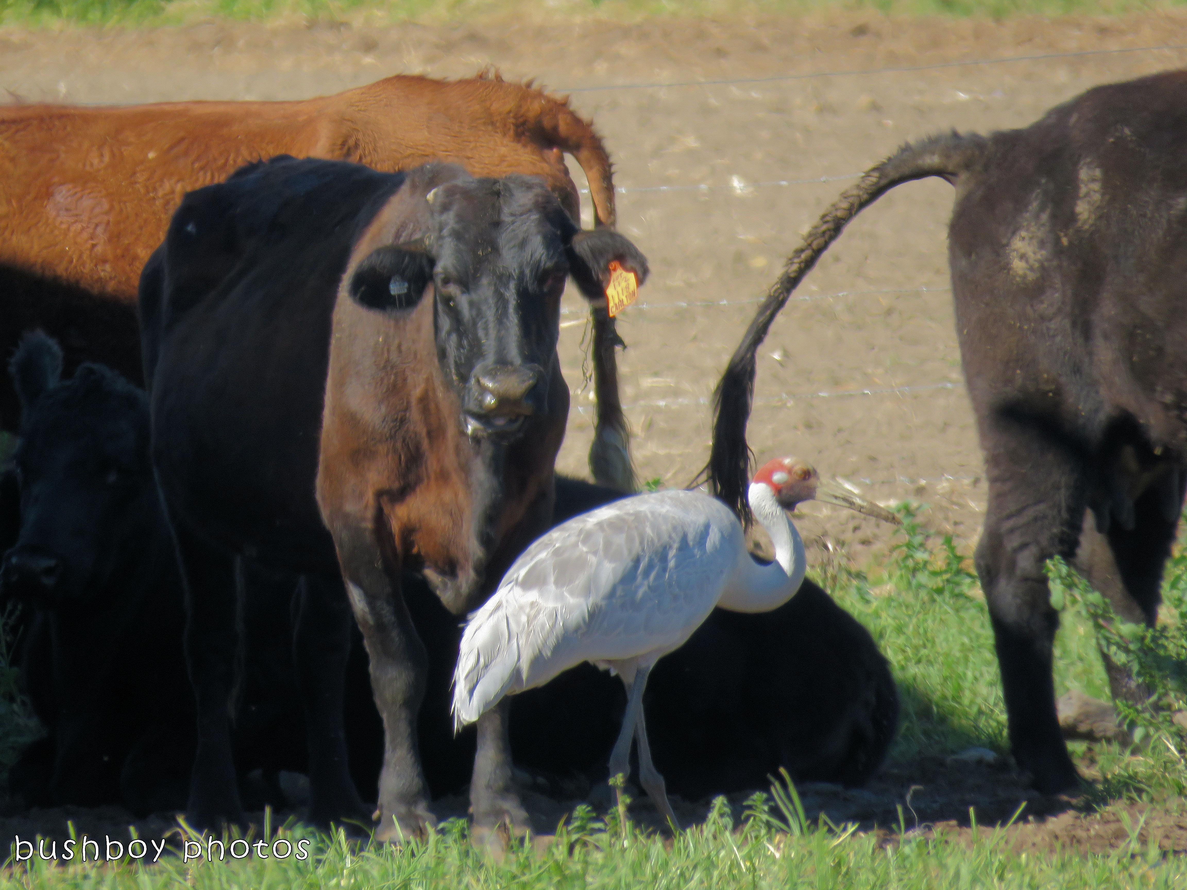 180222_face in the crowd_cow and brolga
