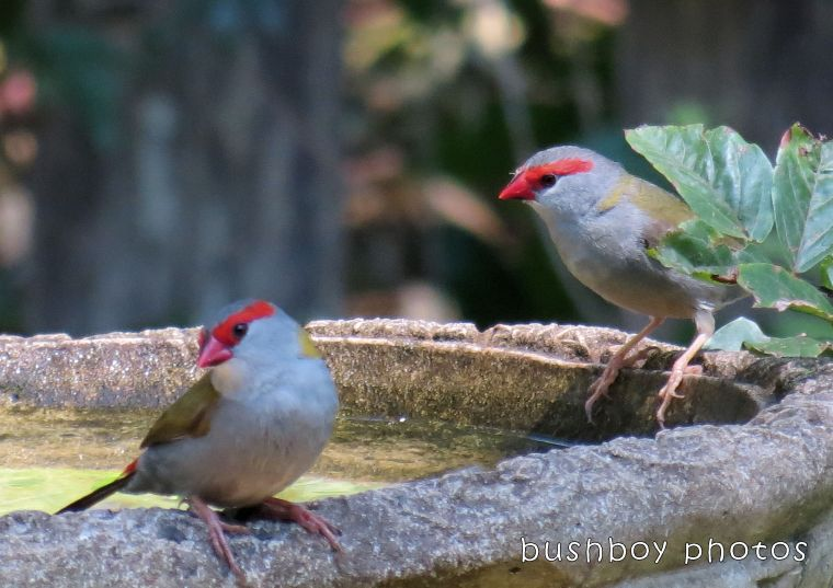 180222_pair_finches