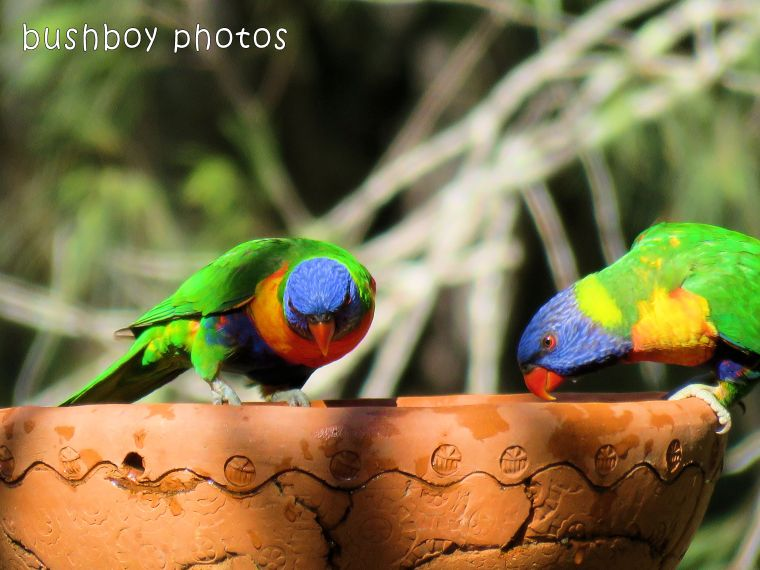 180222_pair_rainbow lorikeets