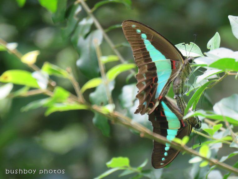 blue triangle butterflies_mating_named_binna burra_jan 2018
