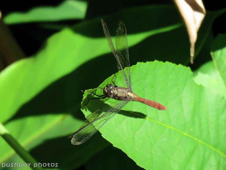 dragonfly01_named_binna burra_jan 2018