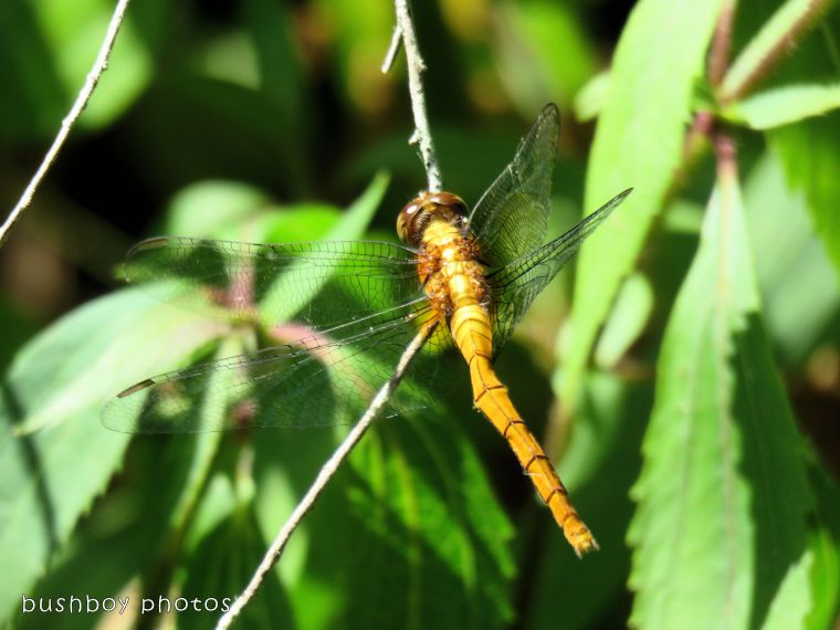 dragonfly02_named_binna burra_jan 2018