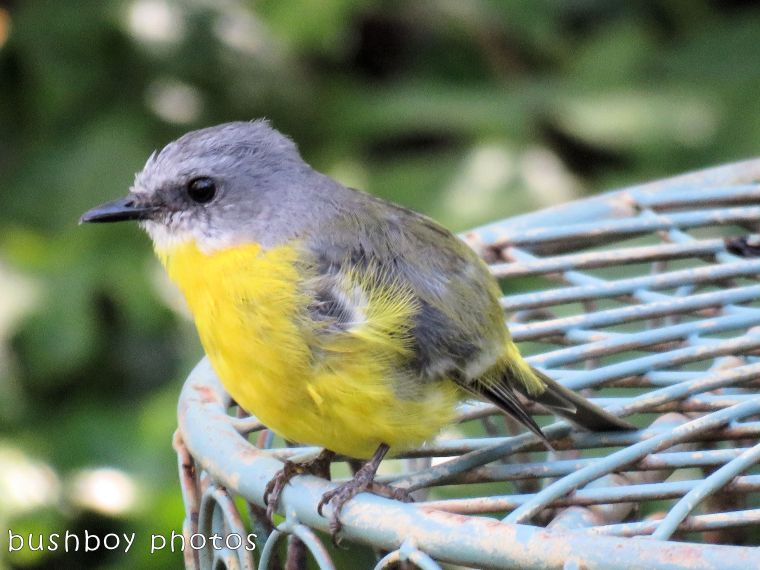 eastern yellow robin_named_binna burra_jan 2018