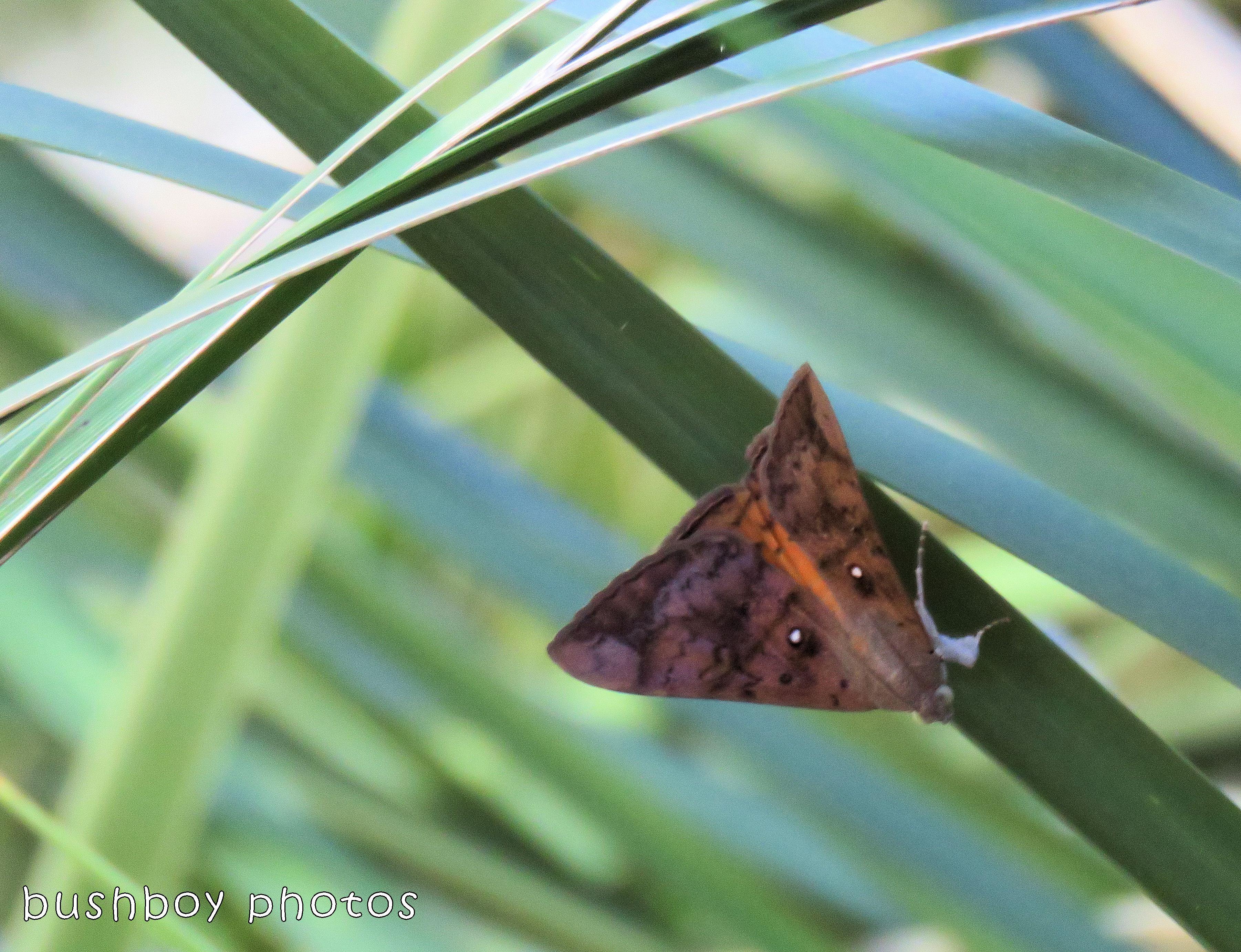 fox moth_named_binna burra_jan 2018