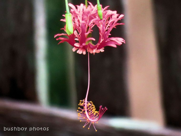 hibiscus_dancing lady02_named_binna burra_feb 2018