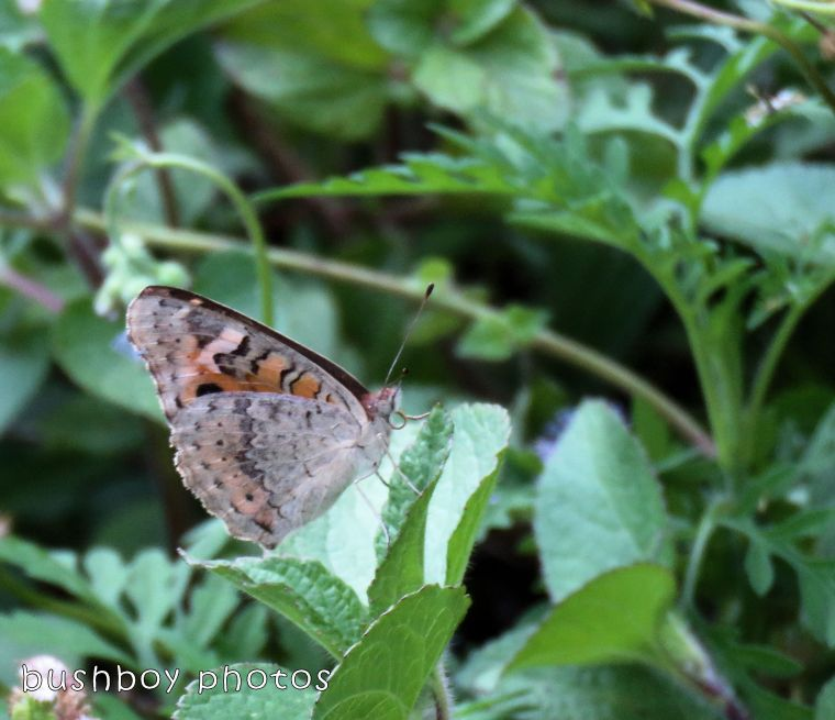 meadow argus butterfly_named_binna burra_jan 2018