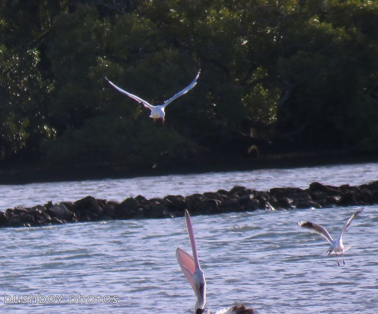pelican_seagull_named_ballina_jan 2018