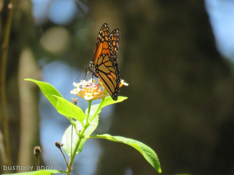 wanderer butterfly_named_binna burra_jan 2018