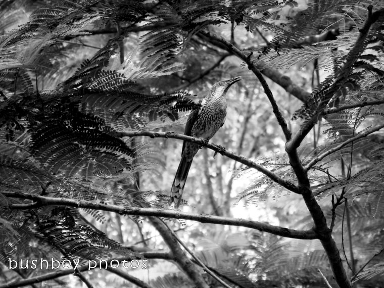 180306_blog challenge_black and white_double letters_little wattlebird