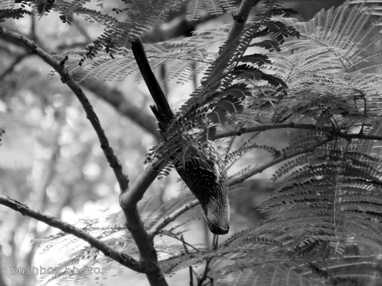 180306_blog challenge_black and white_double letters_little wattlebird02