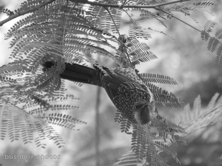 180306_blog challenge_black and white_double letters_little wattlebird03