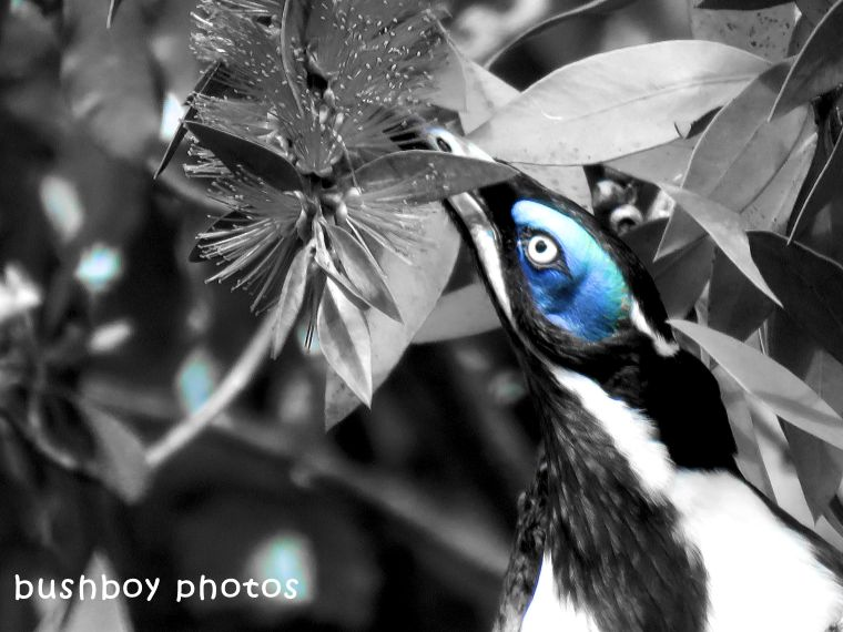 180323_faces_blackandwhite_blue faced honeyeater