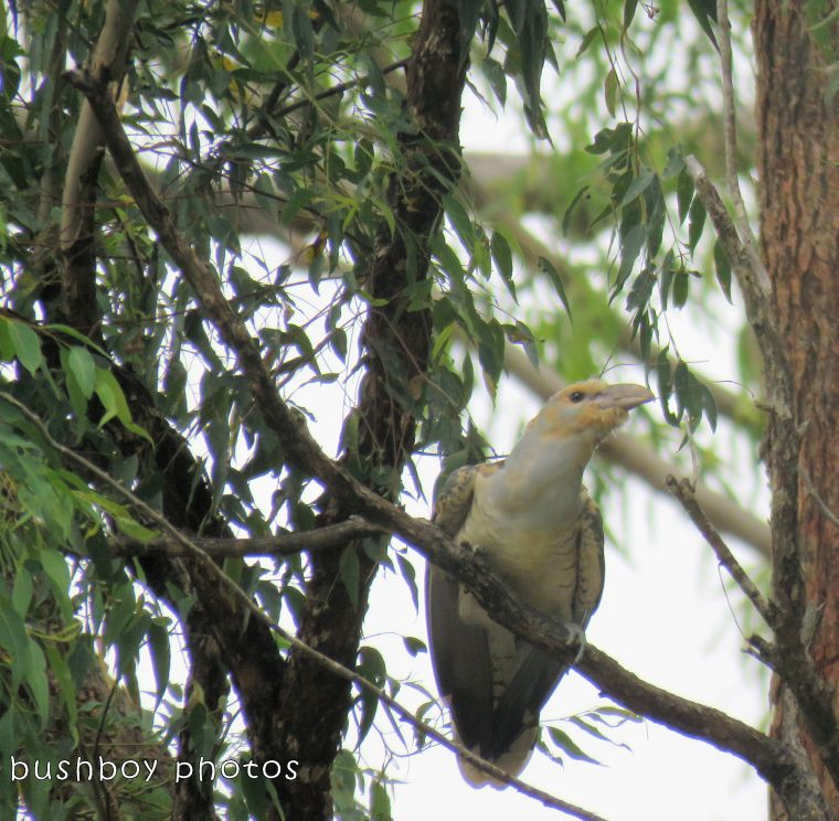 channel billed cuckoo_named_home_feb 2018