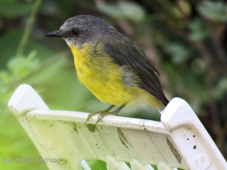 eastern yellow robin_chair_named_binna burra_feb 2018