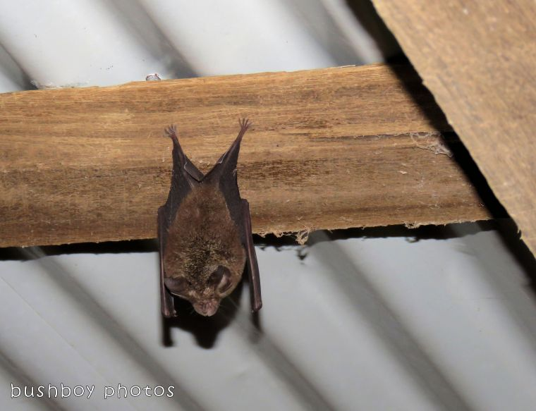 lesser long eared bat_named_binna burra_feb 2018