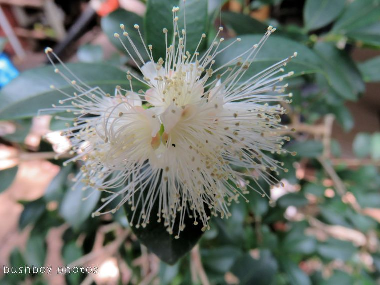 lili pilli flower_named_binna burra_feb 2018