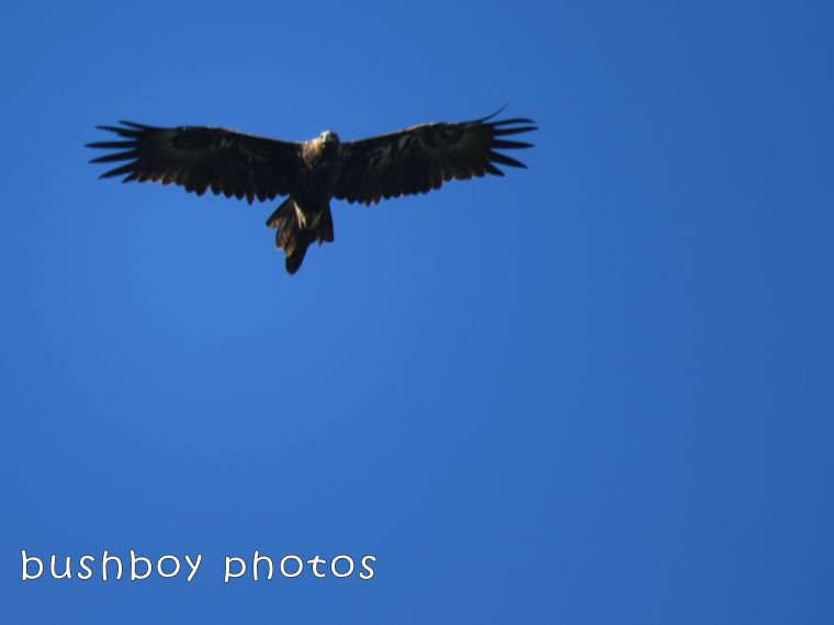 wedged tailed eagle_binna burra_named_feb 2018