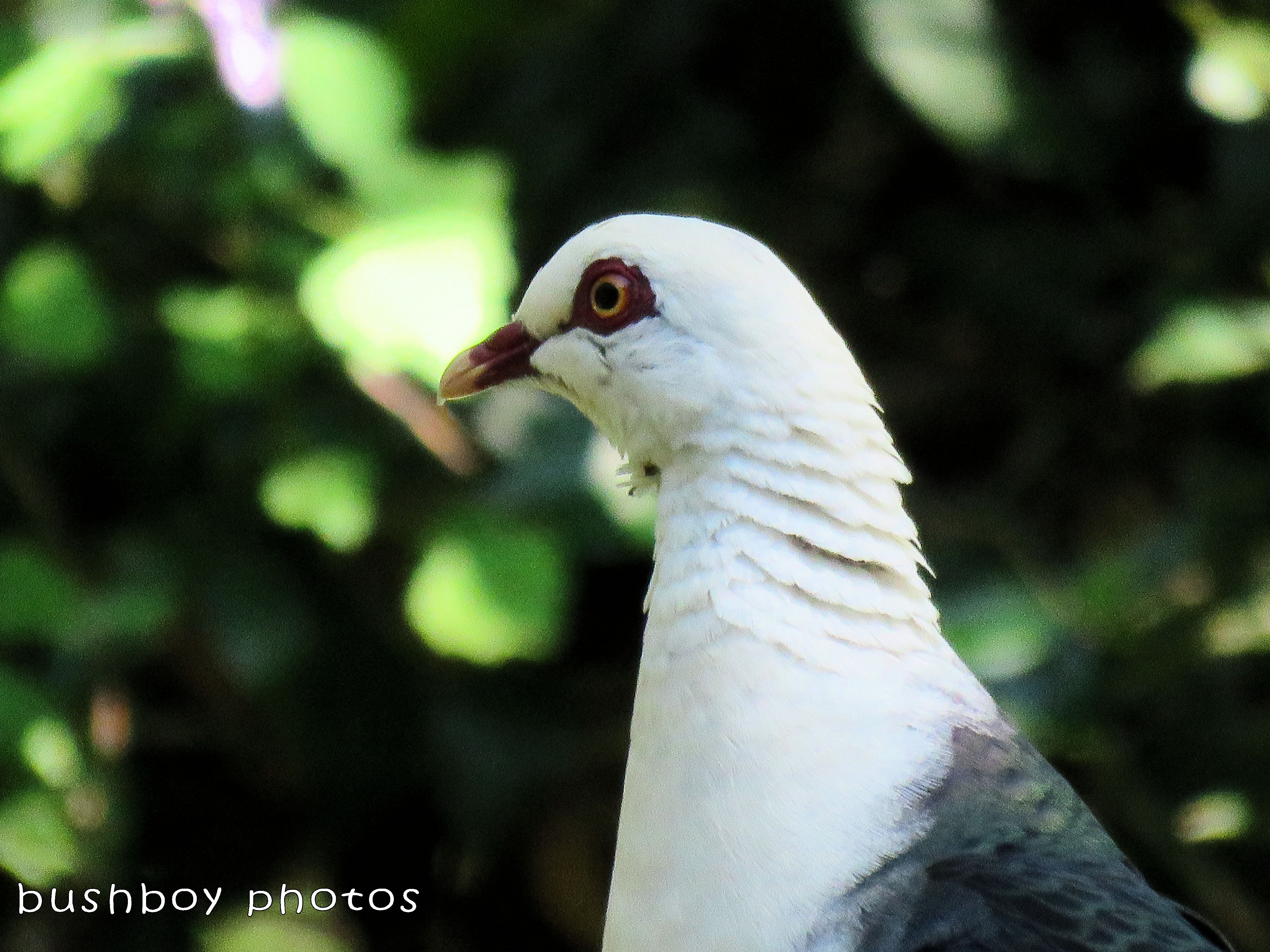 white headed pigeon_named_binna burra_feb 2018