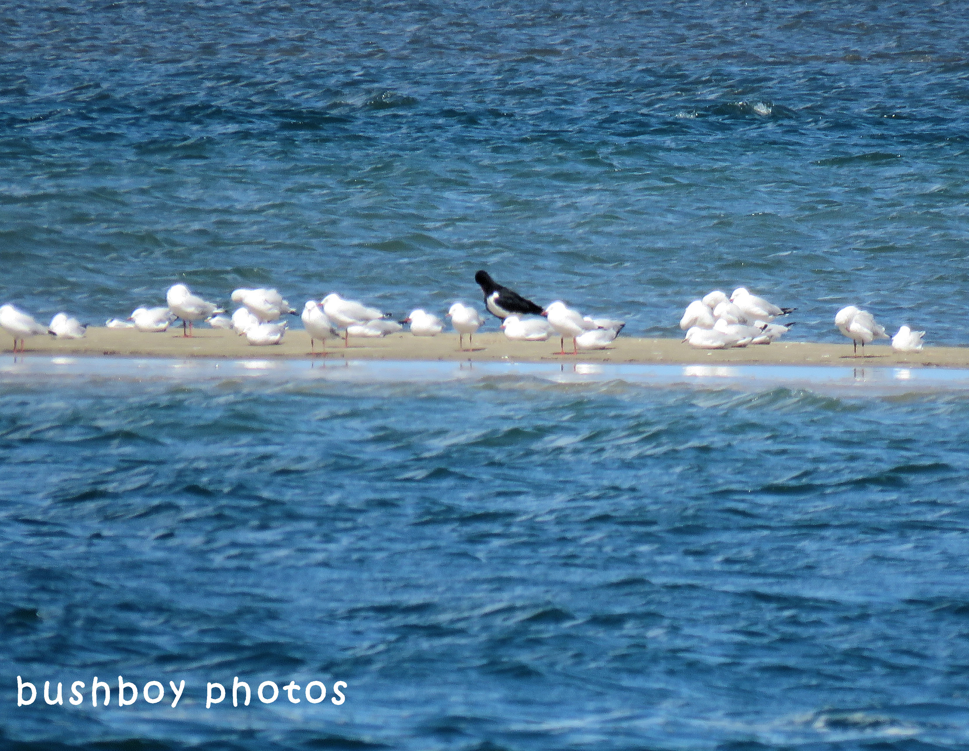 180418_blog challenge_odd one out_oystercatcher