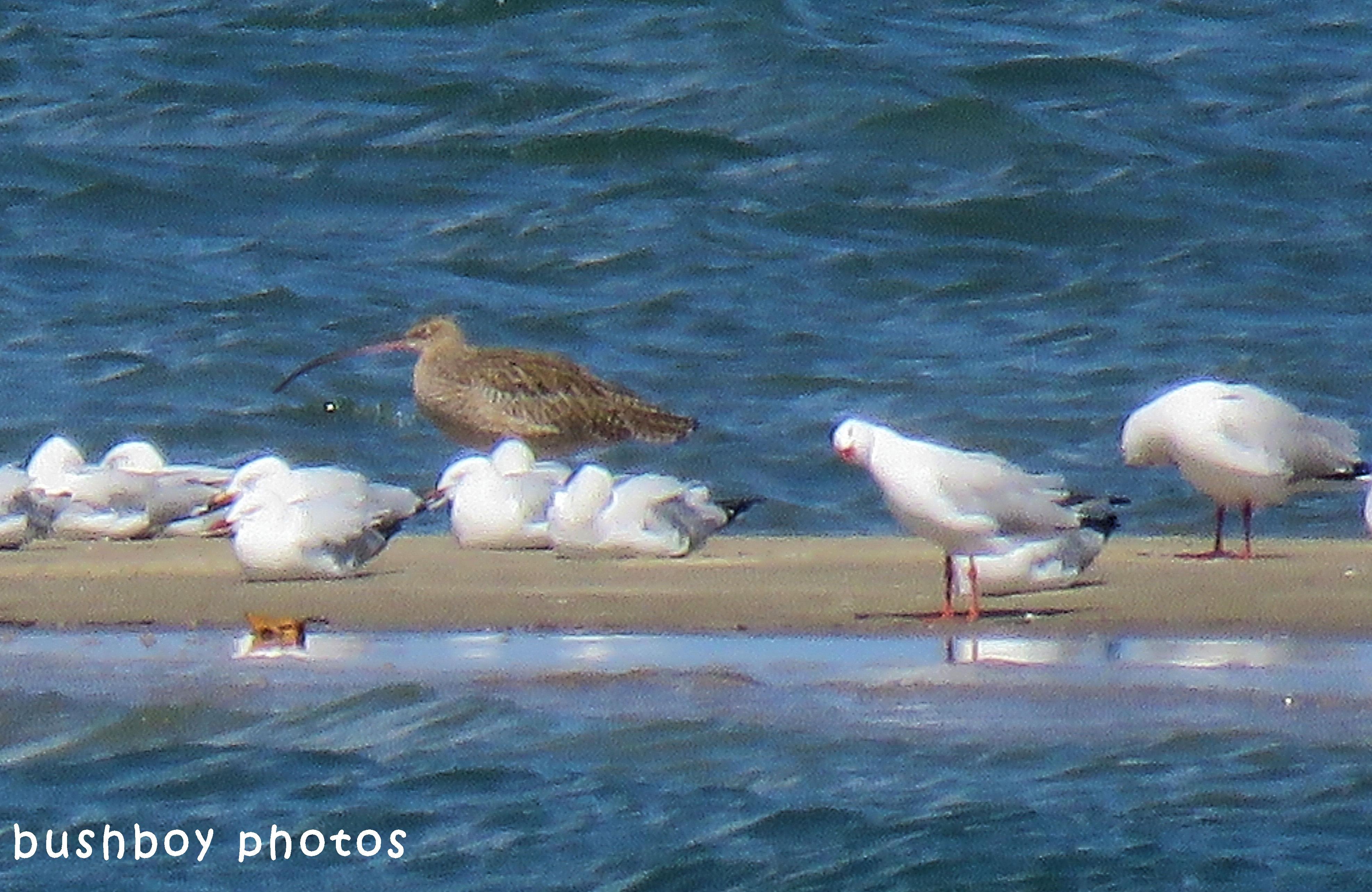 180418_blog challenge_odd one out_shorebirds