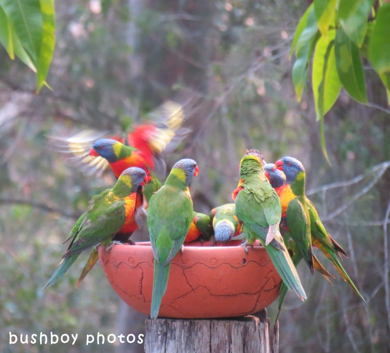 180419_blog challenge_prolific_rainbow lorikeets